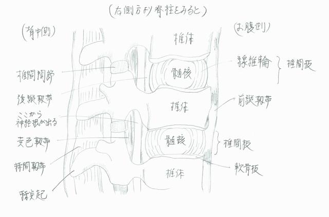 脊柱の側方断面図